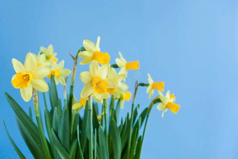 Wiosna Wielkanocny bukiet żółci daffodils na błękitnym tło dowcipie zdjęcie royalty free