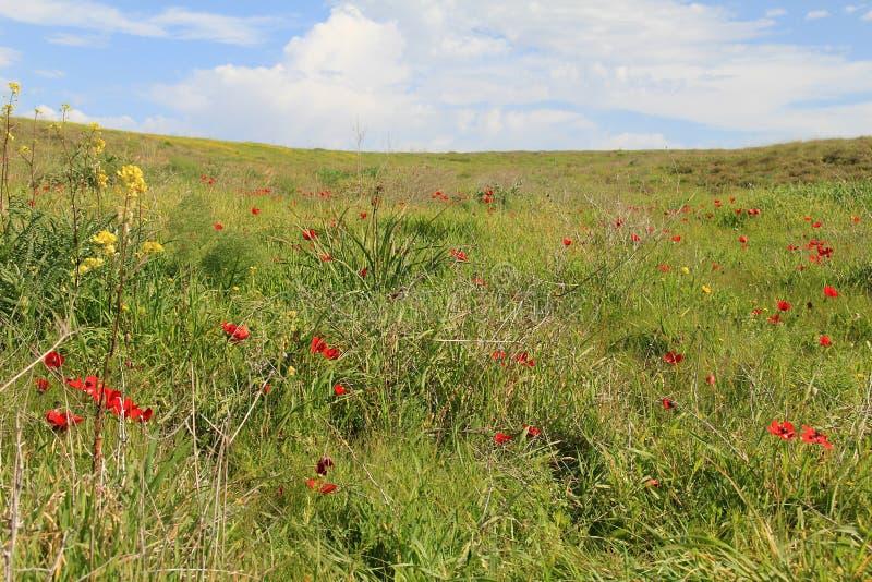 Wiosny łąka z kwitnąć czerwoni anemony kwitnie zdjęcia royalty free