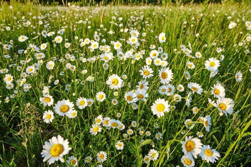 Wiosny łąkowy słońce - rumianek Fotografia dla tło, desktop, pokrywa zdjęcia stock