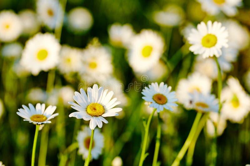 Wiosny łąkowy słońce - rumianek Fotografia dla tło, desktop, pokrywa obrazy royalty free