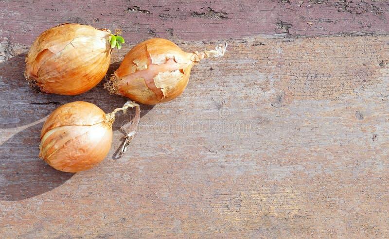 Wiosny żarówki cebula zdjęcie stock