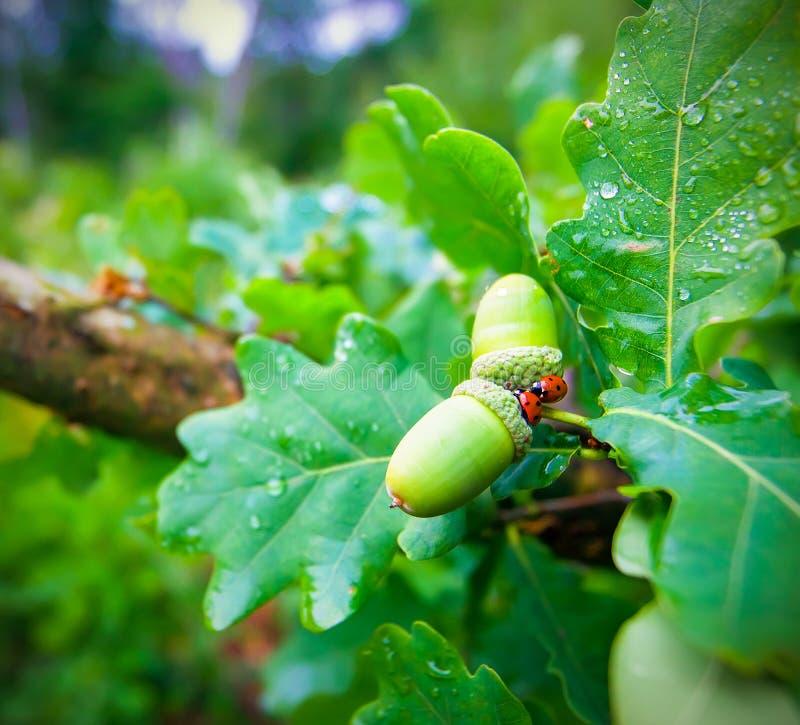 Wiosny Acorn I dwa biedronki Na Dębowego drzewa zbliżeniu obrazy royalty free