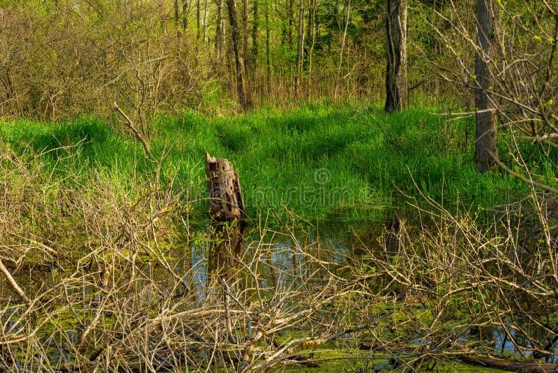 Wiosny bagna i drewna fotografia royalty free