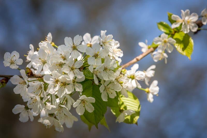 Wiosny blossum zdjęcie royalty free