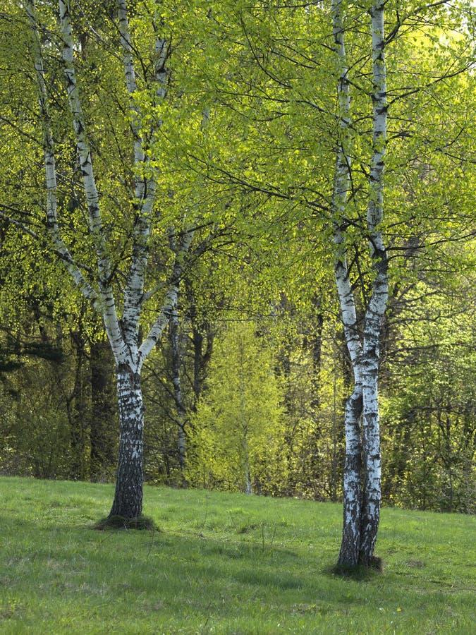 Wiosny brzozy gaj w s?onecznym dniu obraz stock
