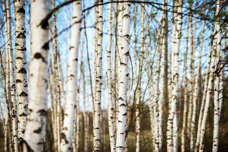 Wiosny brzozy las obraz royalty free