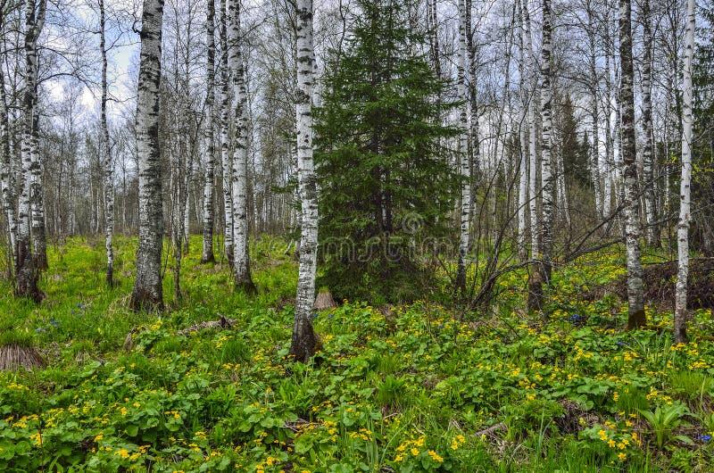 Wiosny brzozy las z żółtym bagno nagietkiem kwitnie Caltha p obrazy stock