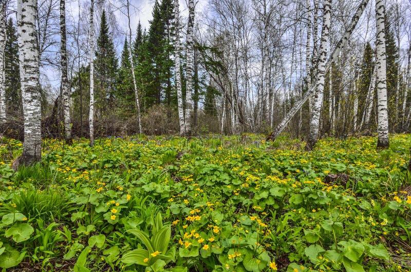 Wiosny brzozy lasowa halizna z żółtym bagno nagietkiem kwitnie Ca zdjęcia royalty free