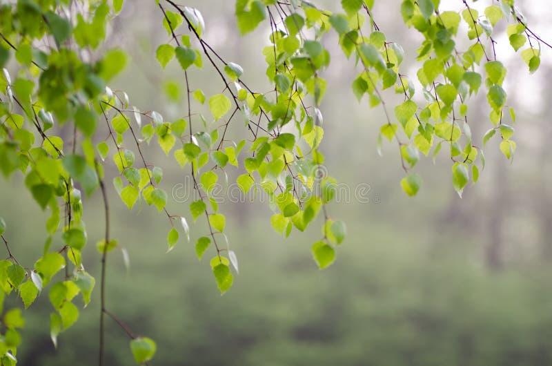 Download Wiosny brzozy liście zdjęcie stock. Obraz złożonej z ulistnienie - 53775766
