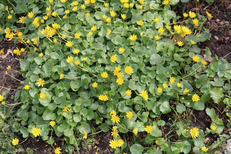 Wiosny chistyak lub jaskier wiosna Ficaria vеrna, zdjęcia royalty free