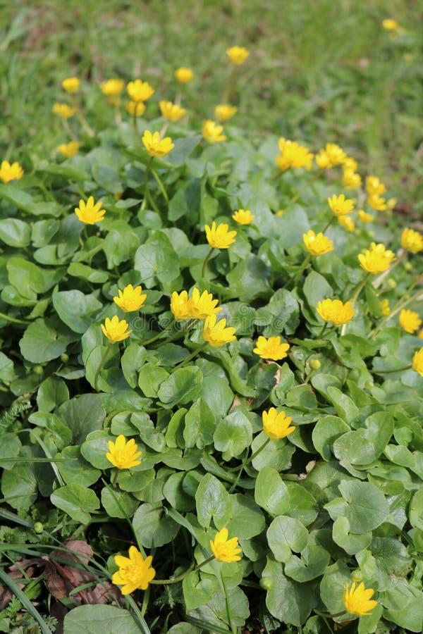 Wiosny chistyak lub jaskier wiosna Ficaria vеrna, fotografia stock