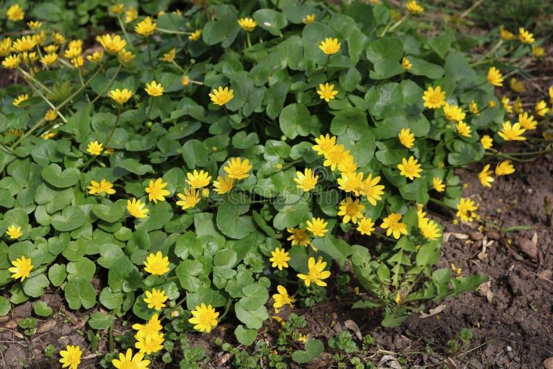 Wiosny chistyak lub jaskier wiosna Ficaria vеrna, zdjęcie royalty free