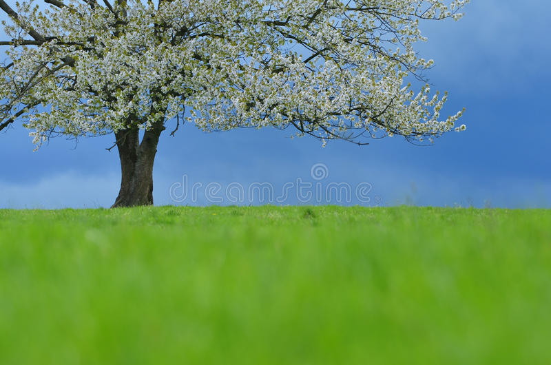 Wiosny czereśniowy drzewo w okwitnięciu na zielonej łące pod niebieskim niebem Tapeta w miękkiej części, neutralny barwi z przest obrazy royalty free
