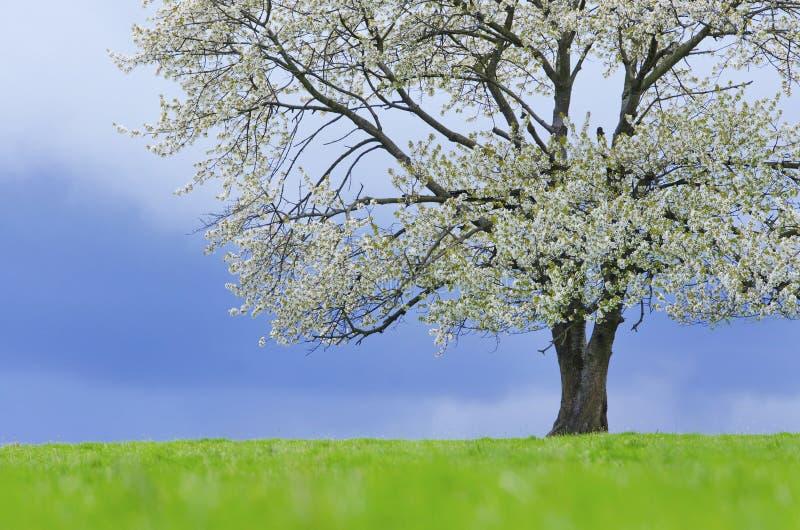 Wiosny czereśniowy drzewo w okwitnięciu na zielonej łące pod niebieskim niebem Tapeta w miękkiej części, neutralny barwi z przest zdjęcia stock