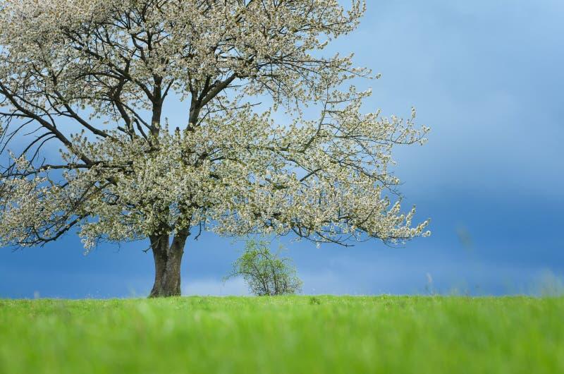 Wiosny czereśniowy drzewo w okwitnięciu na zielonej łące pod niebieskim niebem Tapeta w miękkiej części, neutralny barwi z przest obrazy stock