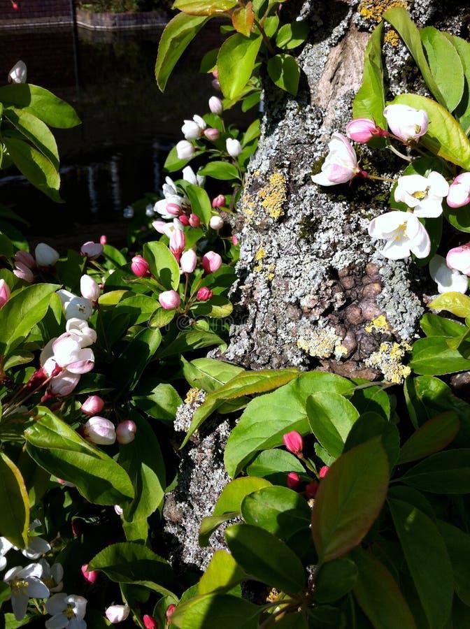 Wiosny Czereśniowy okwitnięcie zdjęcie royalty free
