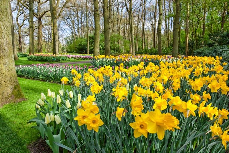 Wiosny daffodil kwiaty obraz stock