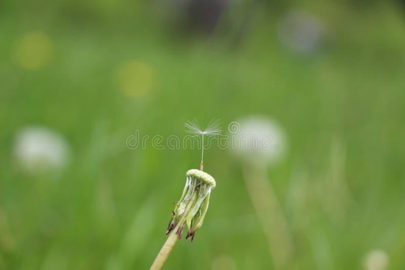 Wiosny dandelion pole w ranku fotografia stock