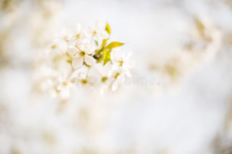 Wiosny Drzewny okwitnięcie obrazy stock