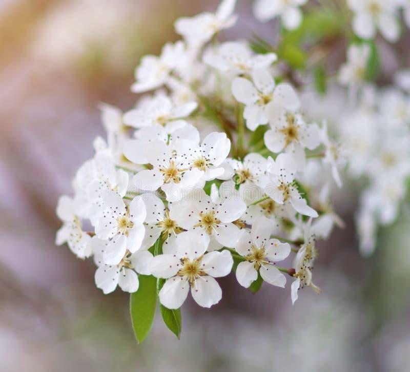 Download Wiosny drzewo w kwiacie zdjęcie stock. Obraz złożonej z błękitny - 57657934