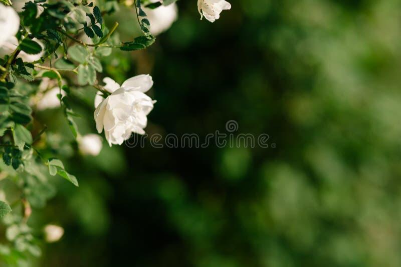 Wiosny eglantine kwiat zdjęcia stock