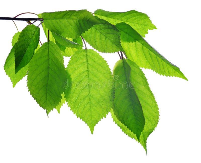 Wiosny gałąź czereśniowy drzewo z zielonymi liśćmi obraz stock