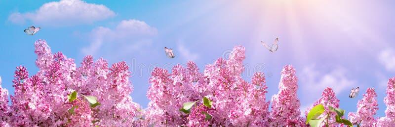 Wiosny gałąź kwitnąć bzu z motylem Natury wiosny tło z światłem słonecznym Przestrzeń dla teksta komunalne jeden Moscow panoramic zdjęcie stock