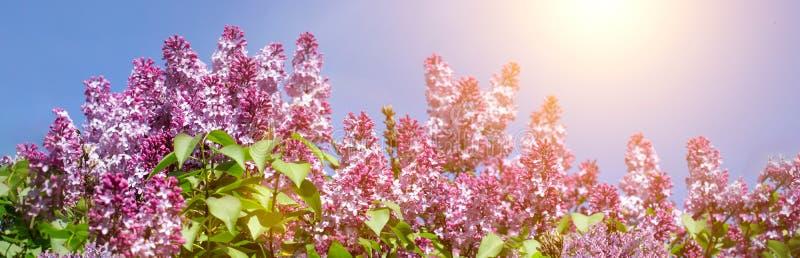 Wiosny gałąź kwitnąć lilego natury tło Przestrzeń dla teksta Pinc i purpur kwiat zdjęcie stock