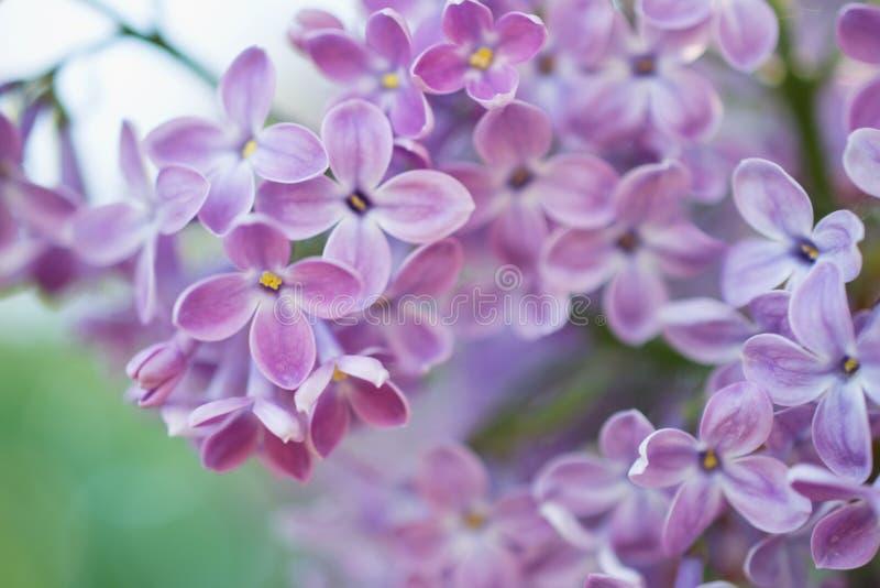 Wiosny gałąź lili okwitnięcia w wiosna ogródzie Miękka selekcyjna ostrość tła naturalny kwiecisty fotografia stock