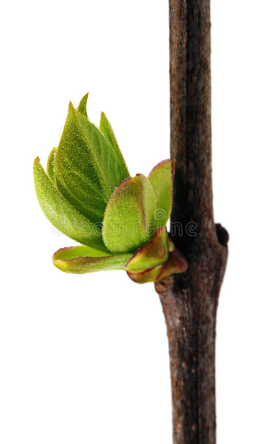 Download Wiosny Gałąź Z Nowym świeżym Pączkiem Odizolowywającym Na Bielu Obraz Stock - Obraz złożonej z naturalny, życie: 53787567