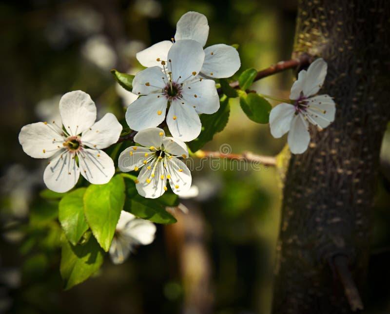 Wiosny gałązka z białymi florets fotografia stock