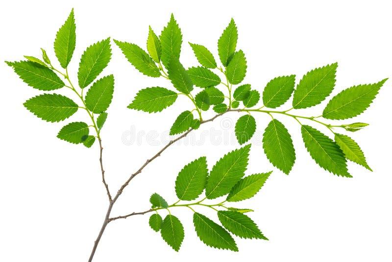 Wiosny gałązki wiąz z zieleń liśćmi odizolowywającymi zdjęcia royalty free