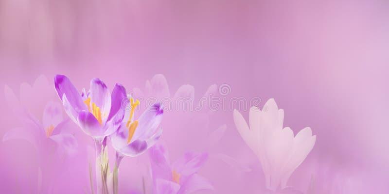 Wiosny granica lub tło sztuka z fiołkowym okwitnięciem Piękna natury scena z kwitnącym drzewem i słońce migoczemy barwi dzień Eas obraz stock