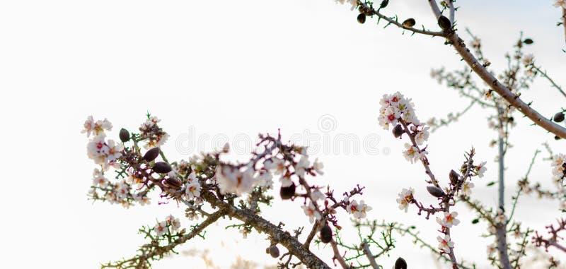 Wiosny granica lub tło sztuka z menchiami kwitniemy zdjęcie royalty free