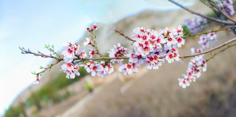 Wiosny granica lub tło sztuka z menchiami kwitniemy fotografia royalty free