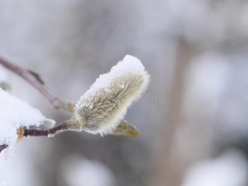 Wiosny kici wierzbowy kwiat na niebieskim niebie fotografia stock