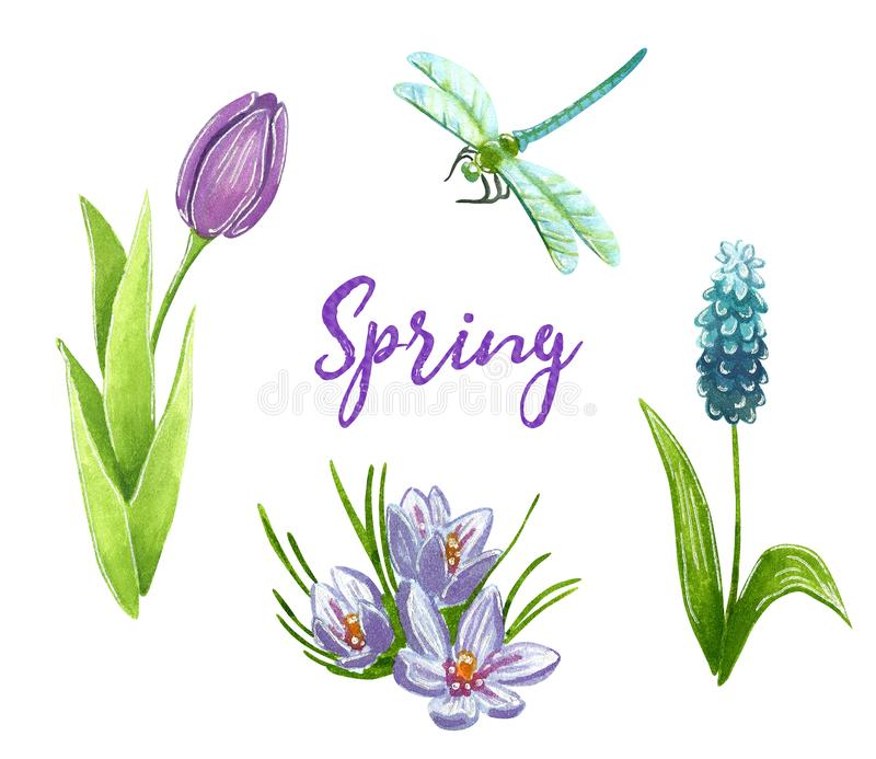 Wiosny klamerki sztuka ustawiająca z purpurowym tulipanem, muscari, krokusem i dragonfly, ilustracji