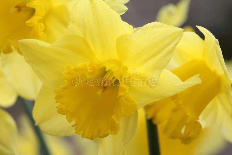 Wiosny królewiątka Alfred Daffodils w kwiacie fotografia royalty free
