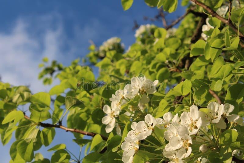 Wiosny kwiecenie Bonkreta kwitnąca białe kwiaty Przyszłościowy żniwo zdjęcie royalty free