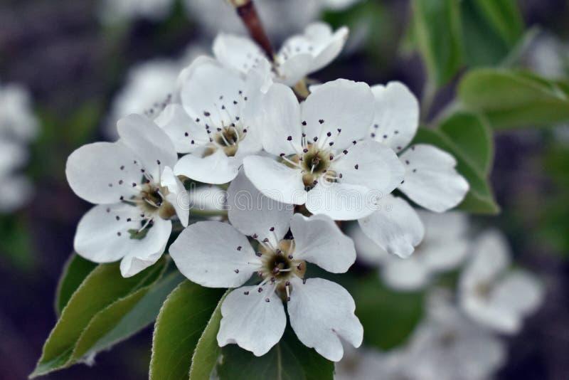 Wiosny kwiecenie owocowi drzewa w ogródzie zdjęcie stock