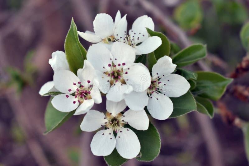 Wiosny kwiecenie owocowi drzewa w ogr?dzie zdjęcia stock