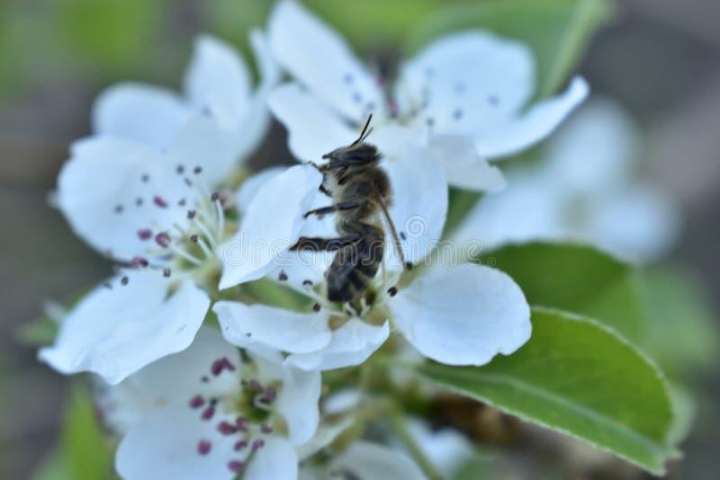 Wiosny kwiecenie owocowi drzewa w ogr?dzie obrazy stock