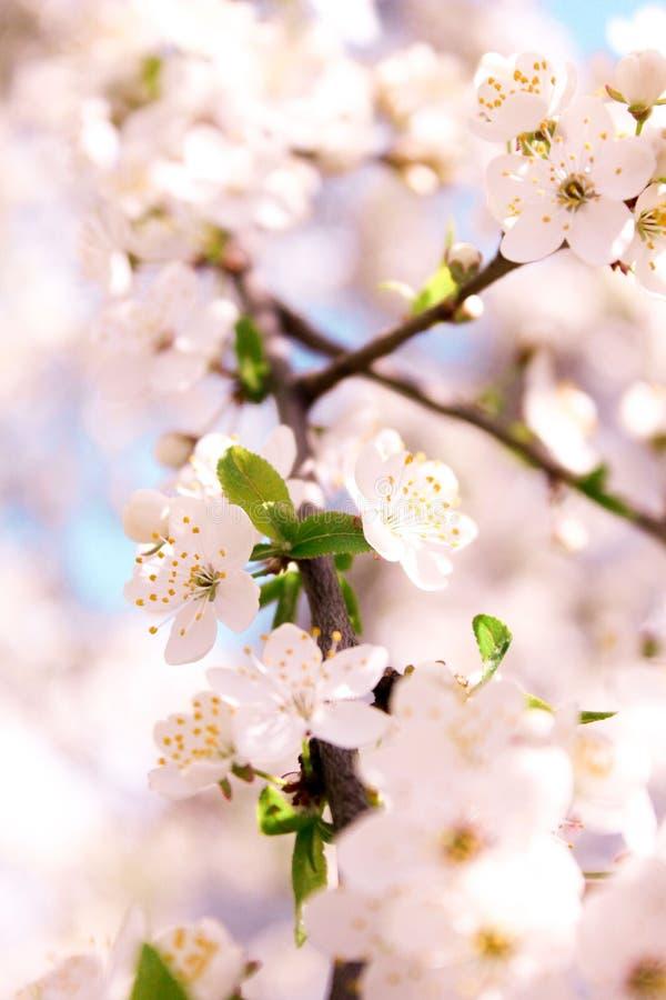 Wiosny kwiecenie Tłustoszowaty Apple obraz royalty free