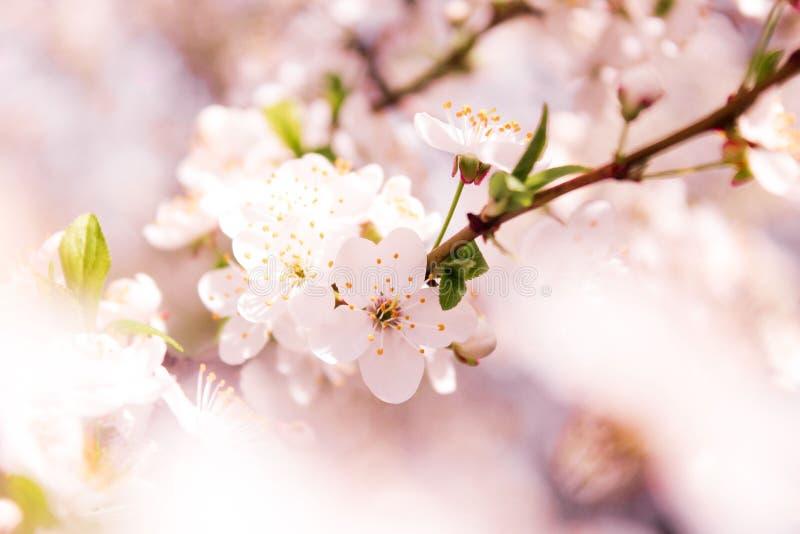 Wiosny kwiecenie Tłustoszowaty Apple fotografia stock