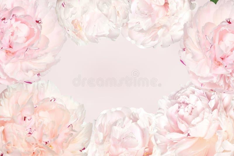 Wiosny kwiecista rama od śmietankowych peoni na świetle - różowy tło z przestrzenią dla teksta ilustracja wektor