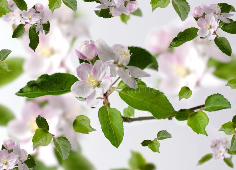 Wiosny kwiecisty tło z jabłoń kwiatami odizolowywającymi na bielu zdjęcia royalty free