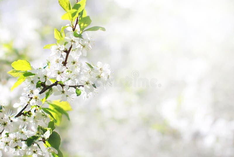 Wiosny kwiecisty tło, białych kwiatów gałąź okwitnięcia jabłko obraz stock