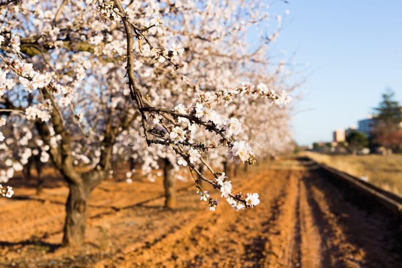 Wiosny, kwitnąć i natury pojęcie, - piękny migdał kwitnie zdjęcie stock