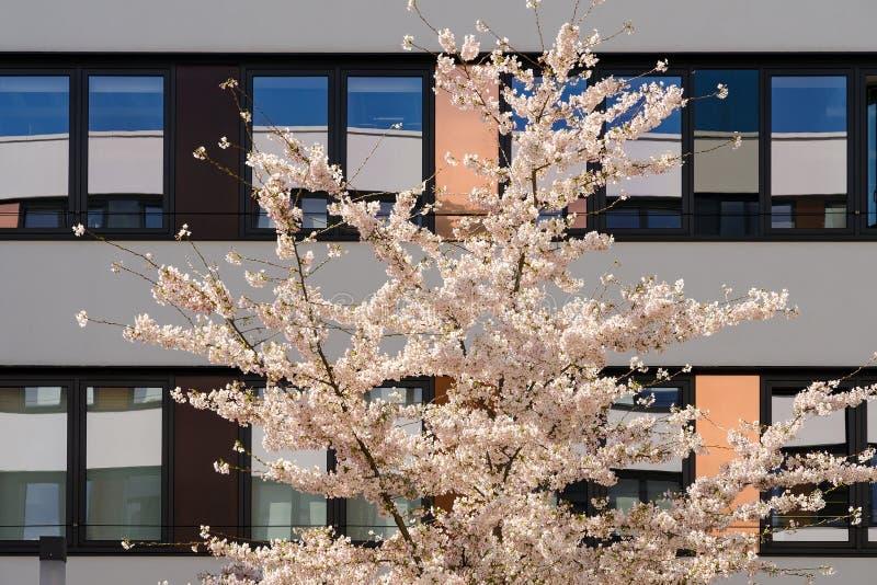 Wiosny kwitnąca jabłoń w wewnętrznym ogródzie nowożytny budynek biurowy fotografia stock