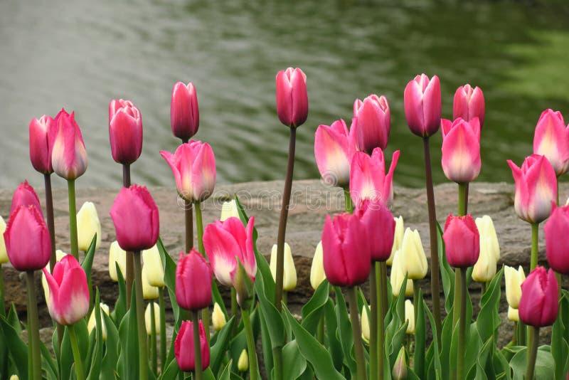 Wiosny kwitnienia menchii tulipanów widok Tulipany w wiosny kwitnienia ogródzie Kwitnący różowy tulipan kwitnie w wiośnie Wiosna  obrazy stock